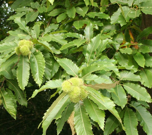 5x Sweet Chestnut - Castanea sativa - 45-60cm - Bare-root (Pack of 5 Plants)