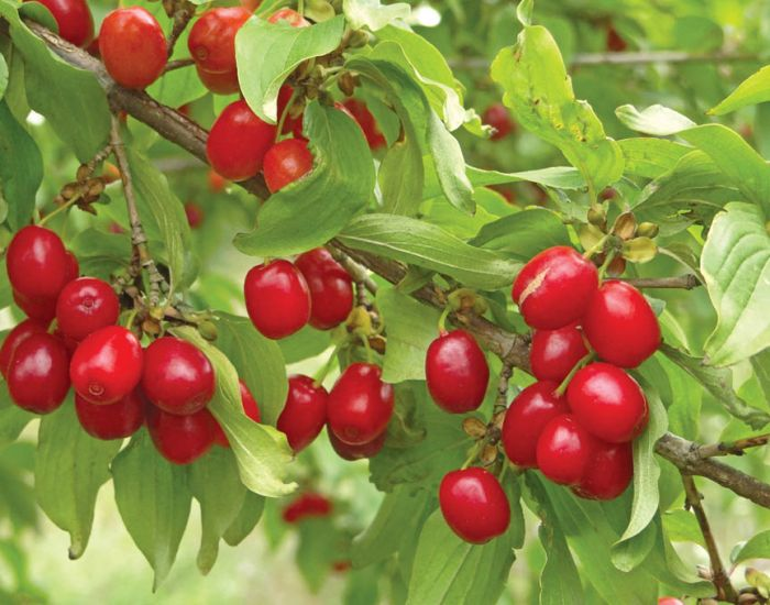 25x Cornelian Cherry - Cornus mas - 60-80cm - Bare-root (Pack of 25 Plants)