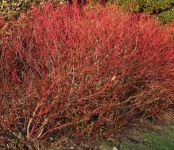 25x Dogwood - Cornus sanguinea - 60-80cm - Bare-root (Pack of 25 Plants)