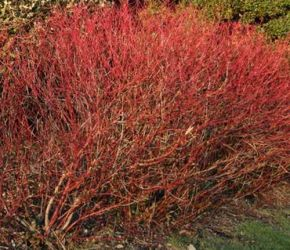 5x Dogwood - Cornus sanguinea - 45-60cm - Bare-root (Pack of 5 Plants)