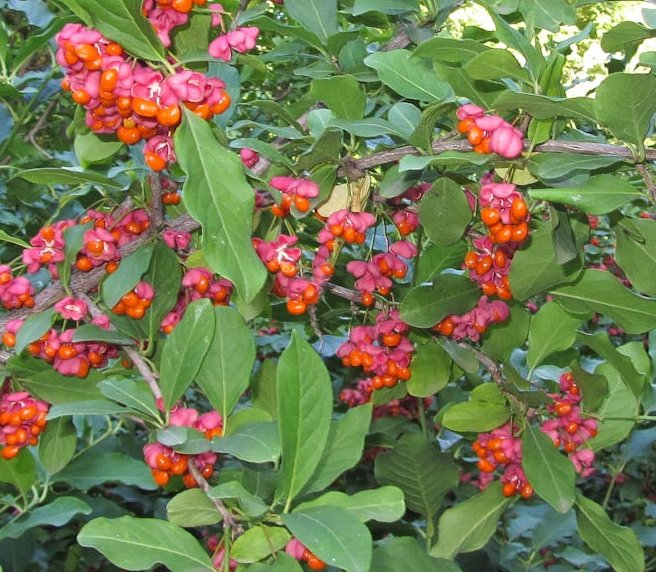 5x Spindle - Euonymus europaeus - 45-60cm - Bare-root (Pack of 5 Plants)