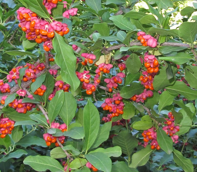 25x Spindle - Euonymus europaeus - 60-90cm - Bare-root (Pack of 25 Plants)