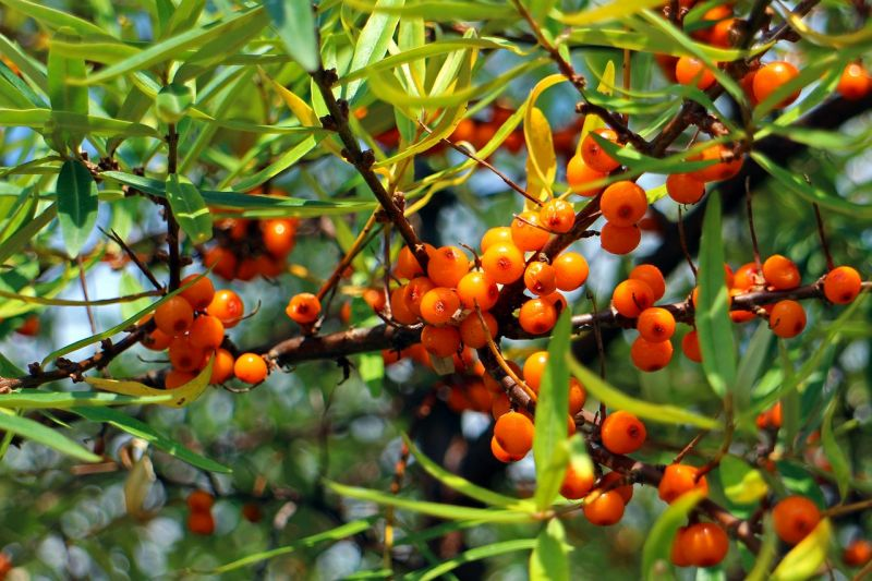 25x Sea Buckthorn - Hippophae rhamnoides - 60-90cm - Bare-root (Pack of 25 Plants)