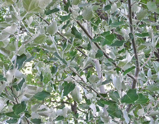 5x White Poplar - Populus alba - 80-100cm - Bare-root (Pack of 5 Plants)