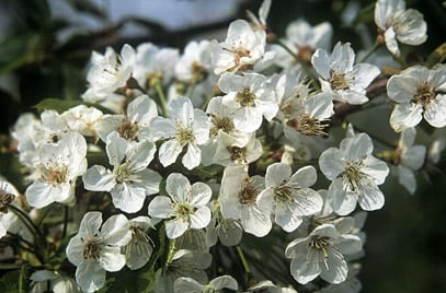 25x Bird Cherry - Prunus avium - 60-80cm - Bare-root (Pack of 25 Plants)