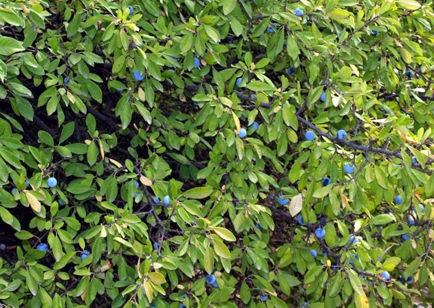 25x Blackthorn - Prunus spinosa - 60-90cm - Bare-root (Pack of 25 Plants)