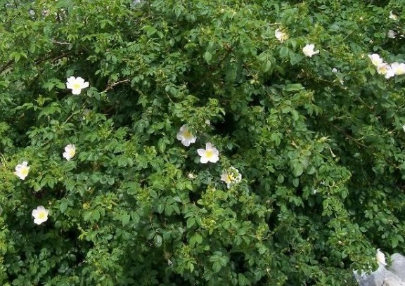 5x Dog Rose - Rosa canina - 45-60cm - Bare-root (Pack of 5 Plants)