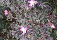 5x Redleaf Rose - Rosa glauca R. rubrifolia - 45-60cm - Bare-root (Pack of 5 Plants)
