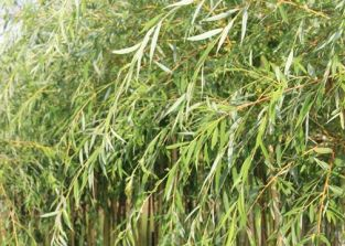 5x Weeping Willow - Salix chrysocoma - 80-100cm - Bare-root (Pack of 5 Plants)