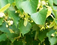 5x Small-leaved Lime Tilia cordata - 80-100cm - Bare-root (Pack of 5 Plants)