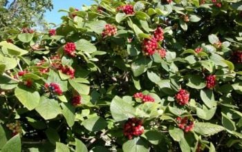 25x Wayfaring Tree Viburnum lantana - 60-90cm - Bare-root (Pack of 25 Plants)