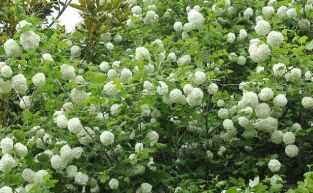 5x Guelder Rose Viburnum opulus - 45-60cm - Bare-root (Pack of 5 Plants)