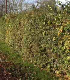 25x Wildlife Hedge - Height: 60-90cm - Bare-root (Pack of 25 Plants)