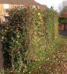 25x Mixed Native Hedge - Height: 60-90cm - Bare-root (Pack of 25 Plants)