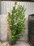 4m Cherry Laurel Hedging 175-200cm Rootballed 'prunus laurocerasus rotundifolia' (5 Rootballs)