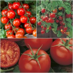 'Proven Winners' Tomato Collection | 'Moneymaker', 'Superweet 100' & 'Tumbling Tom' | 8.5cm Pots | By Gourmet Vegetables