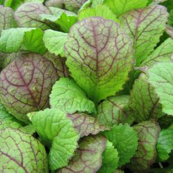 10 x Giant Red Mustard Plants