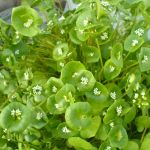 10 x Winter Purslane Plants
