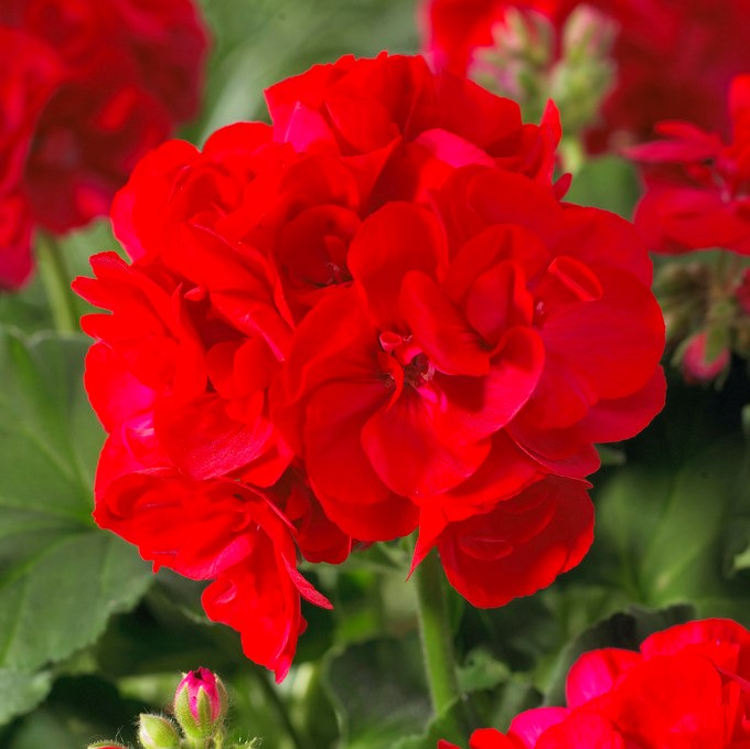 Geranium 'F1 Scarlet Eye'  | 7cm Square Pot