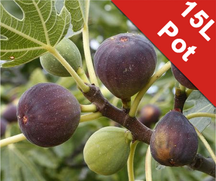 Ficus carica 'Black' Standard Fig Tree - 15L Pot (220-250cm tall)