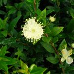 Myrtus communis 'Tarentina' Mini-Stem Lolipop - 3.8L Pot (30-40cm tall)