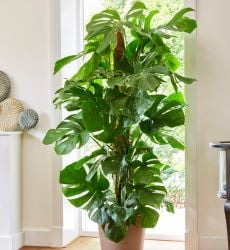 100cm Monstera Deliciosa on Moss Pole | Swiss Cheese Plant | 24cm Pot | By Plant Theory
