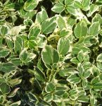 Euonymus fortunei 'Emerald Gaiety' - 7.5L Pot