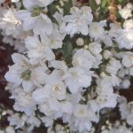 Philadelphus 'Mrs E L Robinson' - 3L Pot