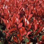 Photinia fraseri 'Little Red Robin' - 2L Pot