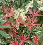 Pieris 'Flaming Silver' - 7.5L Pot