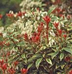 Pieris japonica 'Little Heath' - 7.5L Pot