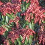 Pieris japonica 'Valley Valentine' - 7.5L Pot