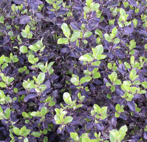 Pittosporum tenuifolium 'Tom Thumb' - 3L Pot