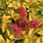 Spiraea japonica 'Golden Princess' - 2L Pot