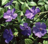 Vinca minor 'La Grave' (Bowles Variety) - 2L Pot