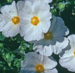 Cistus obtusifolius 'Thrive' - 3L Pot