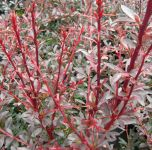Berberis thunbergii 'Red Chief' - 3L Pot