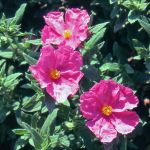 Cistus pulverulentus 'Sunset' - 10L Pot
