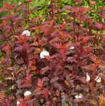 Physocarpus opulifolius 'Diable D'Or' - 3L Pot