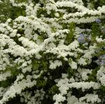 Spiraea nipponica 'Snowmound' - 3L Pot