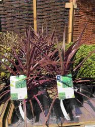 Cordyline Australis 'Pink Fire' - 4L Pot