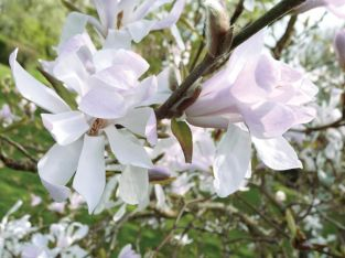 5ft Magnolia Stellata 6 Years Old 25L Half Standard