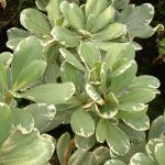 Pittosporum tobira 'Variegata' - 10L Pot (50-60cm tall)