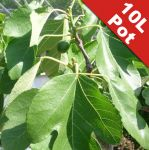 Fig Tree 'Del Portogallio' Half Standard - 10L Pot (125-150cm tall)