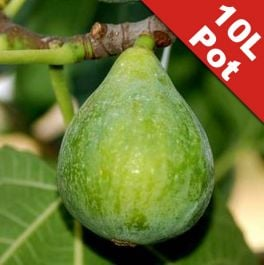 Fig Tree 'Fiorone Bianco' Half Standard - 10L Pot (125-150cm tall)