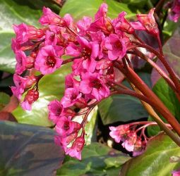 Bergenia Bressingham Ruby (Elephants Ear's) - 1L pot
