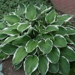 Hosta Francee (Plantain Lily) - 1L pot