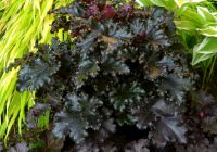 Heuchera 'Black Taffeta' - 1L Pot