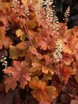 Heucherella 'Buttered Rum' - 1L Pot