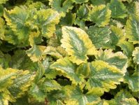 Lamium 'Anne Greenway' - 1L Pot